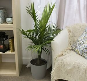 Real Live Majesty Palm Plant in Pot Indoor Outdoor Living Room ...