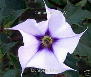 Datura-Stramonium-Jimsonweed-thorn-apple-48-seeds-Organic-NON-GMO-Heirloom