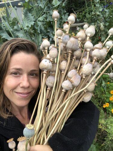 Hungarian Giant Poppy Heirloom Somniferum Poppy 500 seeds FOOLPROOF instructions