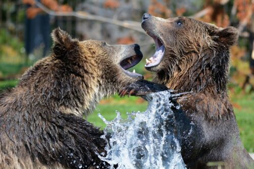 GRIZZLY BEARS WILDLIFE ANIMAL POSTER PRINT 24x36 HI RES 9 MIL PAPER