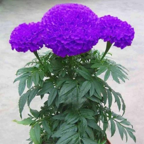 100pcs Purple Marigold Seeds Potted Plant Flower Home Garden Decoration Ca Call For Sale Online Ebay