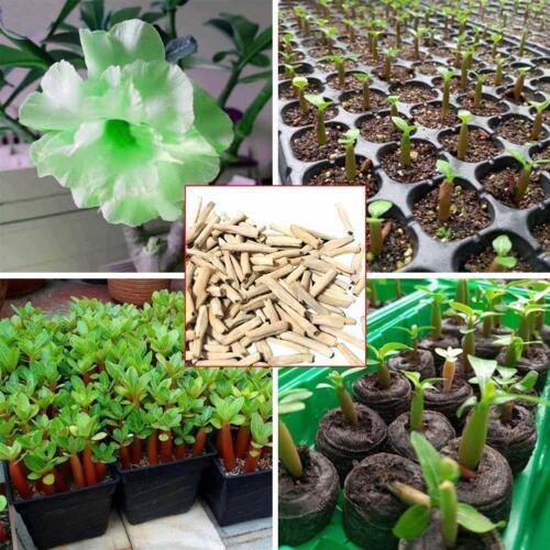 "5 Stück Desert Rose Flower Adenium obesum /""Zitrone/"" Samen-Neu"