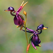 Rare New Duck Flying Orchid Flower Seeds Flower Seeds Free Ship ~10PCs~ ☆