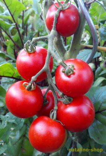 Tomate * Dominator * 10 Graines * Vieille Variété de la RDA * précoce Maturité & Rendement Riche