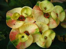 Crown Of Thorns E.Milii Thai Hybrid NAMCHOK Tricolor Succulents/Cacti/Tropicals