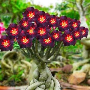 Schwarze-Braune-Adenium-Desert-Rose-Samen-Feuer-Rote-Herzblume-Bonsai-Blume-A9V2
