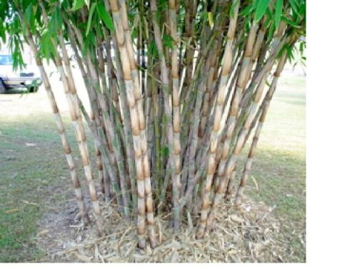 Oxytenanthera abyssinica  100 seeds Very rare African bamboo Clumping bamboo