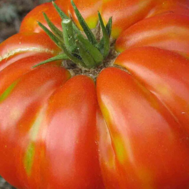 SEEDS LARGE TASTY HEIRLOOM NON-GMO RARE FREE SHIPPING GIANT OXHEART TOMATO 250