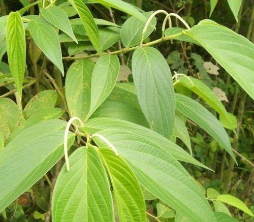 50  Seeds Hinojo Piper grande