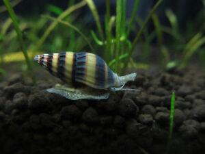 ASSASSIN-SNAIL-TROPICAL-FISH-ESTABLISHED-2cm