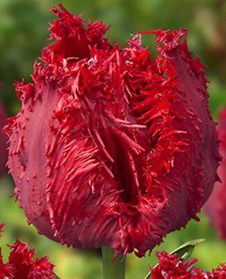 """Rarität: Gefüllte gefranste Tulpe """" Barbados """" (1) (Bitte Beschreibung lesen.)"""