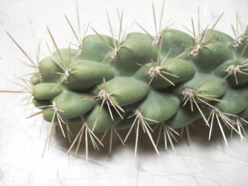 CHOLLA CACTUS ARMS 2 LIVE PLANTS ! SHORT THORN ARIZONA