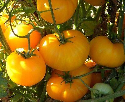 AZOYCHKA Tomate russische Fleisch-Tomaten RARITÄT 10 frische Samen Balkon