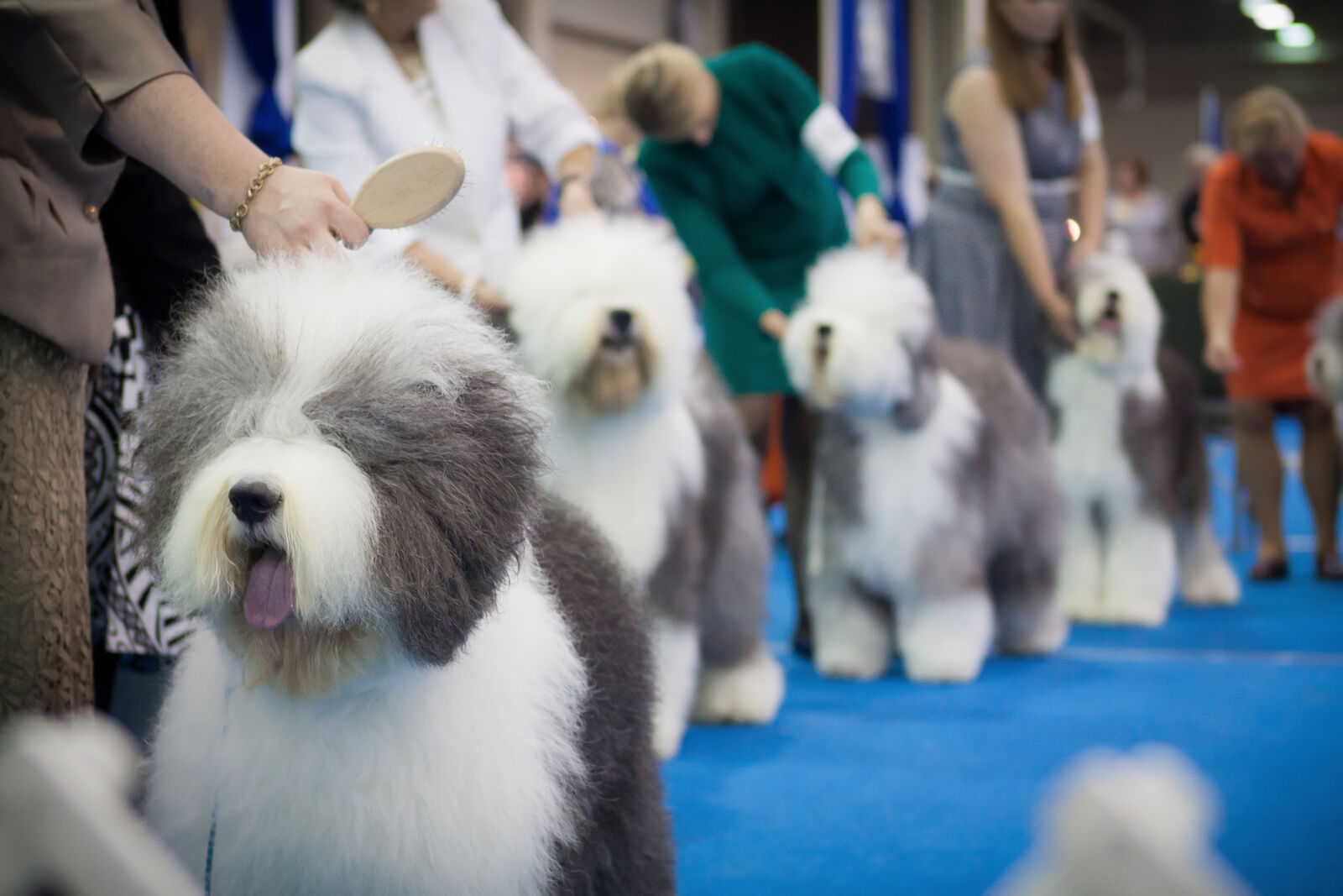 Westminster Dog Show 2020.Westminster Kennel Club Dog Show 2 10 2020 Tickets Stubhub