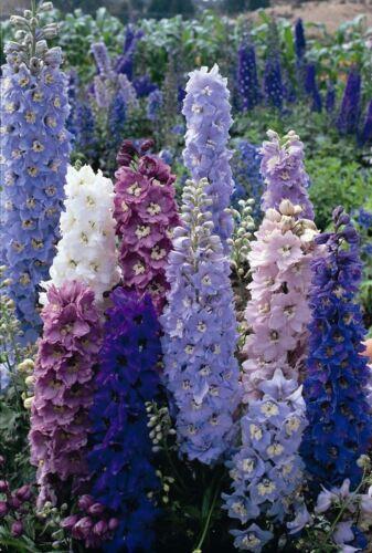 Fleur-Delphinium-Pacific Giants Strain-Round Table 30 graines