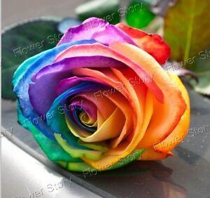 Multi color 200 mystic rainbow rose bush flower seeds for Multi colored rose bushes