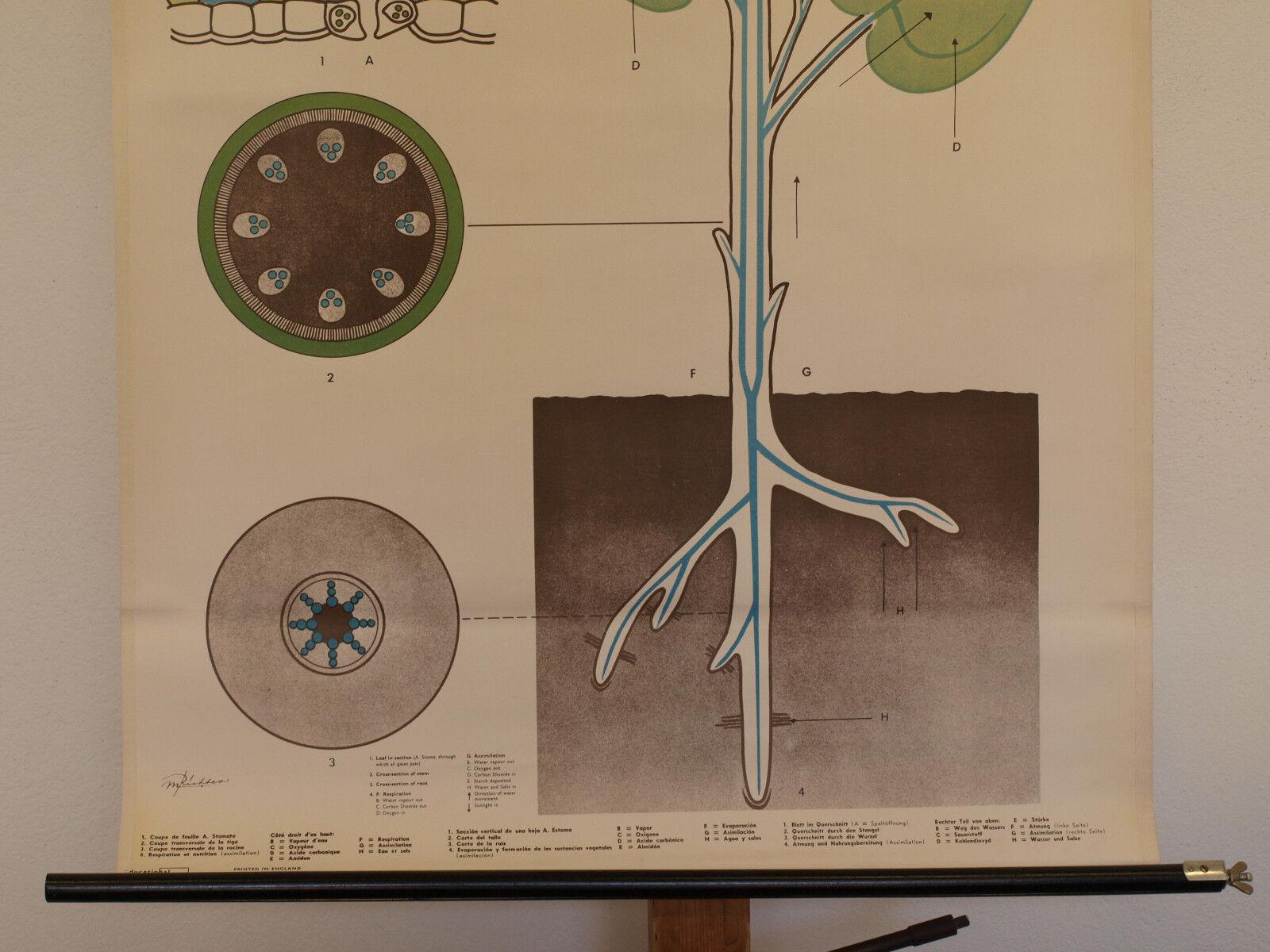 Quadro su Tela Das Leben Der Piante Costruzione Radice Radice Radice Gambo Fiore 72x98cm 1955 c8f337