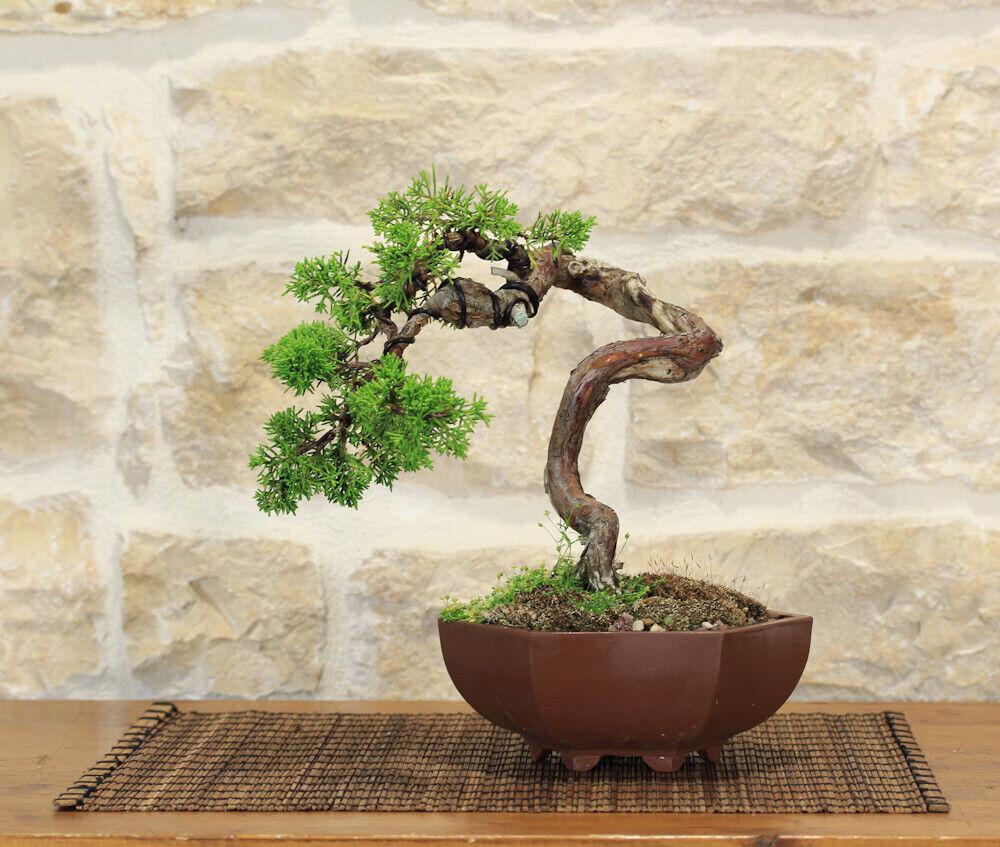 Bonsai di Ginepro Itoigawa (46)