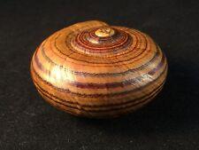 Land snail, Powelliphanta hochstetteri hoschstetteri, 54mm, F+, RARE! FANTASTIC!