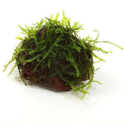 mousse  de java sur pierre nano aquarium AQUASCAPING CREVETTES
