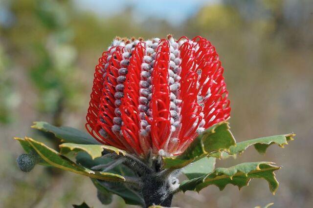 SCARLET BANKSIA (Banksia coccinea) 10 seeds