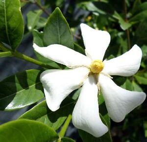 JOY-GARDENIA-jasminoides-highly-fragrant-large-white-flowers-plant-in-140mm-pot