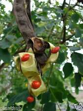 Tree Seed - RED SANDALWOOD - Red Chandan / Red Sanders Seeds - Pack of 25 Seeds