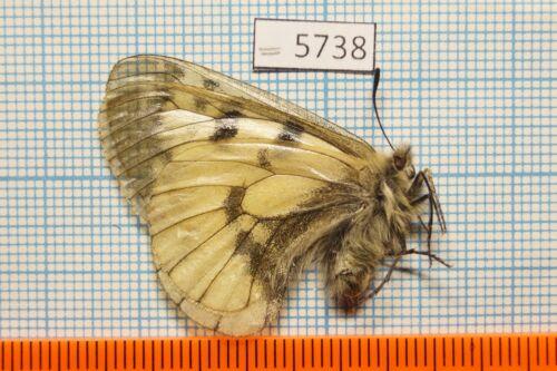 13m  Papilionidae !PRICE FOR EACH! Parnassius mnemosyne pythania 6p