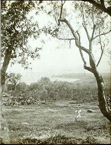 Italia Sicilia Solanto Oliva c1910, Foto Stereo Vintage Placca Lente VR5L3