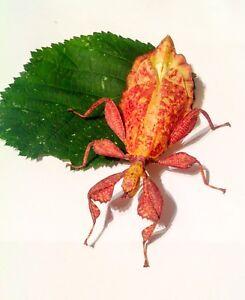 Autumn-leaf-stick-insect-eggs-x-20-plus-1-free-Phyllium-tobeloense-Galela