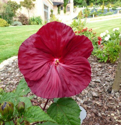 I vivace graines Balcon Jardin D/'hiver Terrasse Bac à plante I géant-Hibiskus