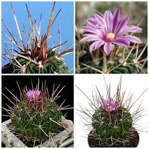 10-Samen-der-Echinofossulocactus-hastatus-Sukkulenten-seeds-succulents-G