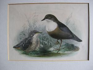 ANTIQUE-BIRD-PRINT-DIPPER-amp-CHICK-J-G-KEULEMANS-Hand-coloured