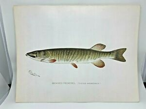 Original-Antique-Denton-Fish-Print-Banded-Pickerel