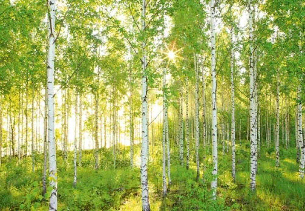 Wandbild Day Time Forest weiß Pappel Fototapete 368x254cm grün Bäume