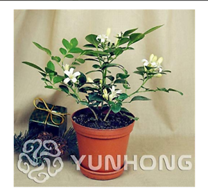 Murraya-Exotica-Seeds-Potted-Bonsai-Courtyard-Forest-Tree-Seeds-100seeds-Pack