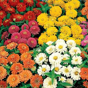 50-Zinnia-Seeds-Dreamland-Mix-FLOWER-SEEDS