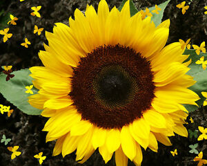 high oleic sunflower oil: