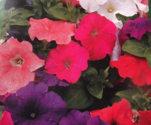Samen Großblumige Mischung einrjährig Blumen Petunien 2,Petunia