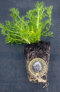 Lawn-Chamomile-12-100-Treneague-PLUG-PLANTS-Lawn-Alternative-NON-FLOWERING