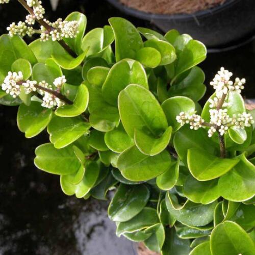 """Ligustrum japonicum /""""coriaceum/"""" 20 graines//seeds"""