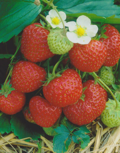"""10 Erdbeerpflanzen Senga Sengana /""""10 Wurzelstücke/"""" hoher Ertrag Erdbeeren"""