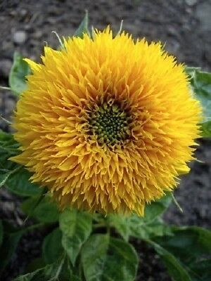 150 DWARF TEDDY BEAR SUNFLOWER Helianthus Annuus Flower Seeds + Gift & Comb S/H