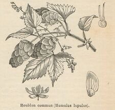 C8446 Humulus Iupulus - Stampa antica - 1892 Engraving