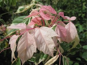Details About 1x 6ft Large Acer Flamingo Tree Gorgeous Variegated Leaves 7 5l