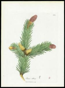 1790-ORIGINAL-ANTIQUE-PRINT-PINUS-ABIES-Norway-Spruce-BOTANICAL-208