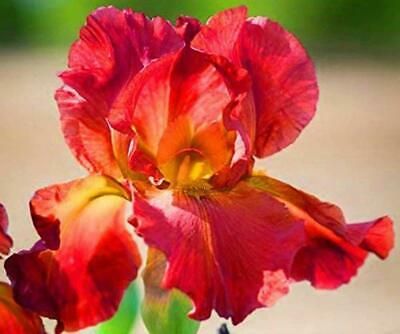 Yellow Queen Dutch Iris 2 Bulbs Multiply Rapidly Garden Plants Balcony Bonsai
