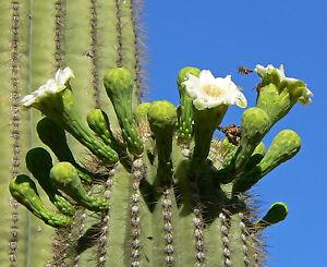 15-Semillas-Saguaro-CARNEGIEA-GIGANTEA-Sahuario-Samen-Semi