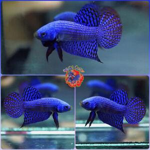 Live Betta Fish Male FIGHTING Mahachai Wild Betta #B614