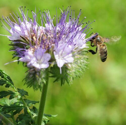 FACELIA Semi di fiori per api 1KG